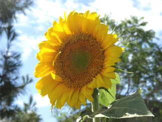 My Sunflower Photo