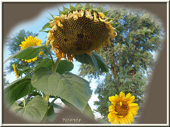Sunflower with Seed