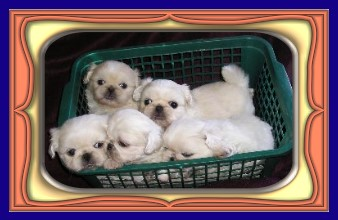 litter of white pekes