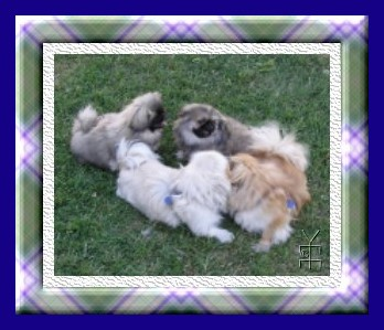 pekes playing picture in plaid frame