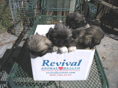 peke puppies in a box