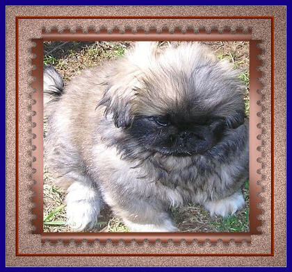 picture of Chopin, my Pekingese puppy