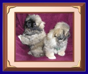 picture of my Pekingese puppies