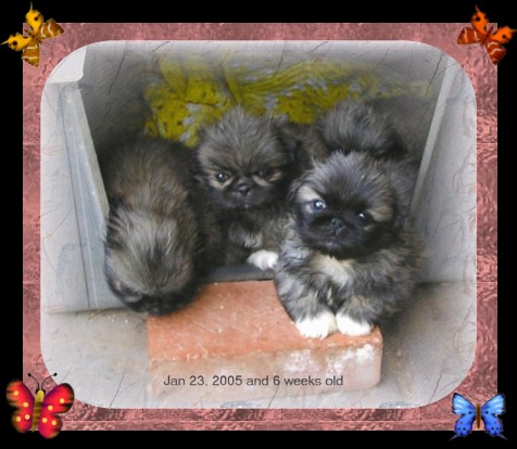 peke puppies in doghouse