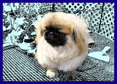 my pet peke,Fortune Cookie, picture